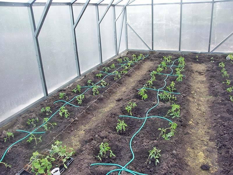 Баклажаны выращивание и уход в теплице из поликарбоната, как правильно ухаживать + видео: уход за баклажанами в теплице