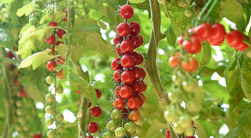 Мелкоплодные сорта томатов с описанием и фото