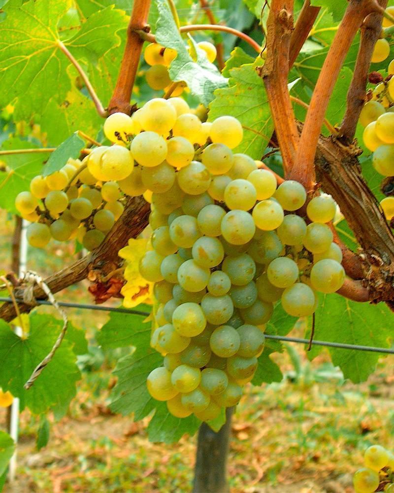 Сорт винограда шардоне: описание и характеристики, выращивание с фото