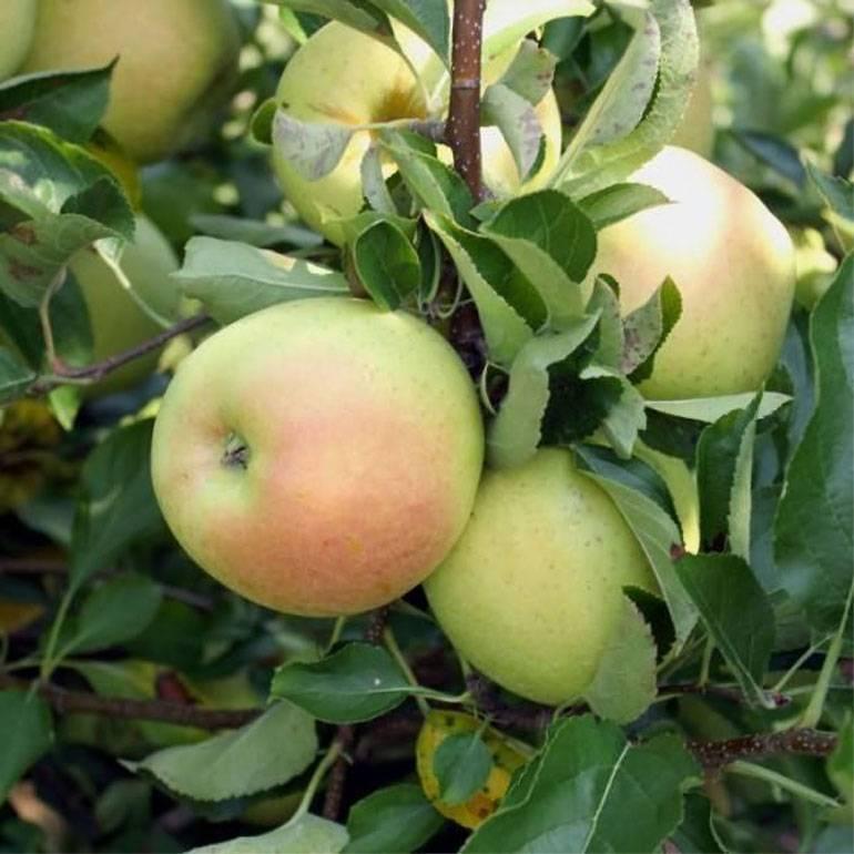 Лучшие сорта яблони для урала - сад и огород