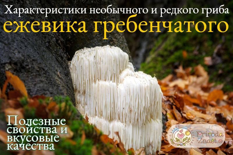 Гриб ежевик: виды, их описание и характеристики, пищевая ценность и калорийность грибов ежевиков