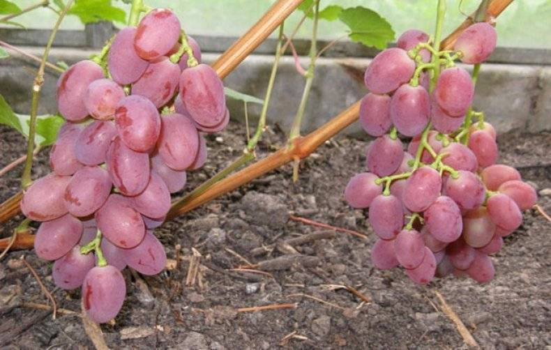 Виноград гурман ранний и лакомка описание сорта, выращивание и уход, фото и отзывы