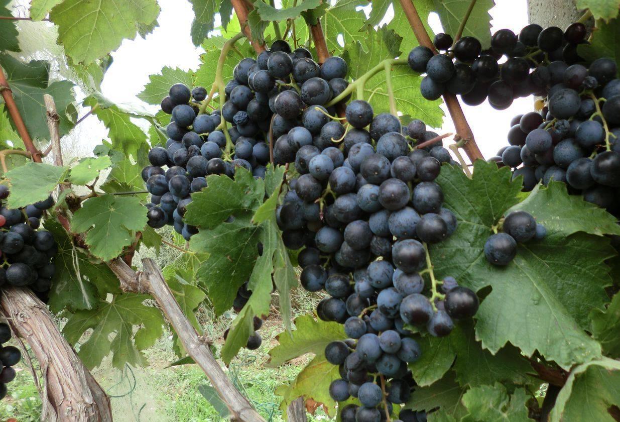 Виноград галия: описание сорта с характеристикой и отзывами, особенности посадки и выращивания, фото