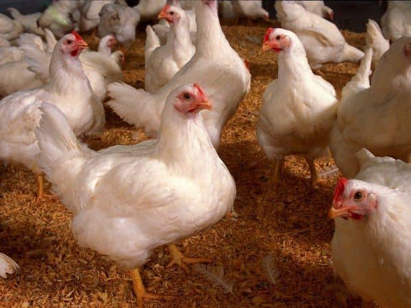 Клетки для бройлеров своими руками: фото, размеры, чертежи, как сделать на 10, 20 и более голов, изготовление самодельных батарей для цыплят в домашних условиях selo.guru — интернет портал о сельском хозяйстве