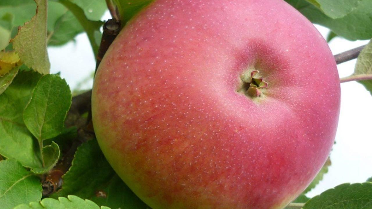 Зимостойкая яблоня аскольда