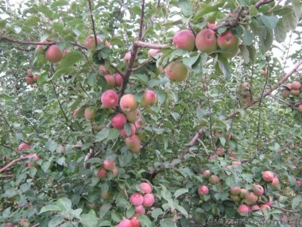 Яблоня спартан: описание и характеристика сорта, чем полезны, посадка и уход