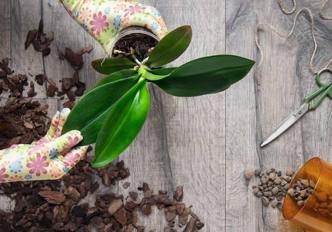Пересадка орхидеи: когда стоит поливать после пересадки