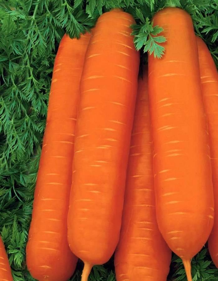 Морковь королева осени: отзывы дачиков и фото, описание и характеристики сорта