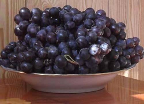 О сорте винограда изабелла: характеристики, особенности выращивания в разных регионах
