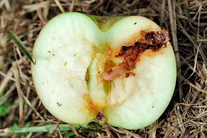 Яблонная (яблоневая) плодожорка – кто это и как защитить урожай
