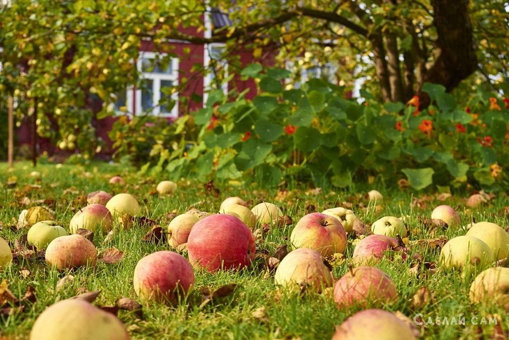 Как правильно собирать яблоки