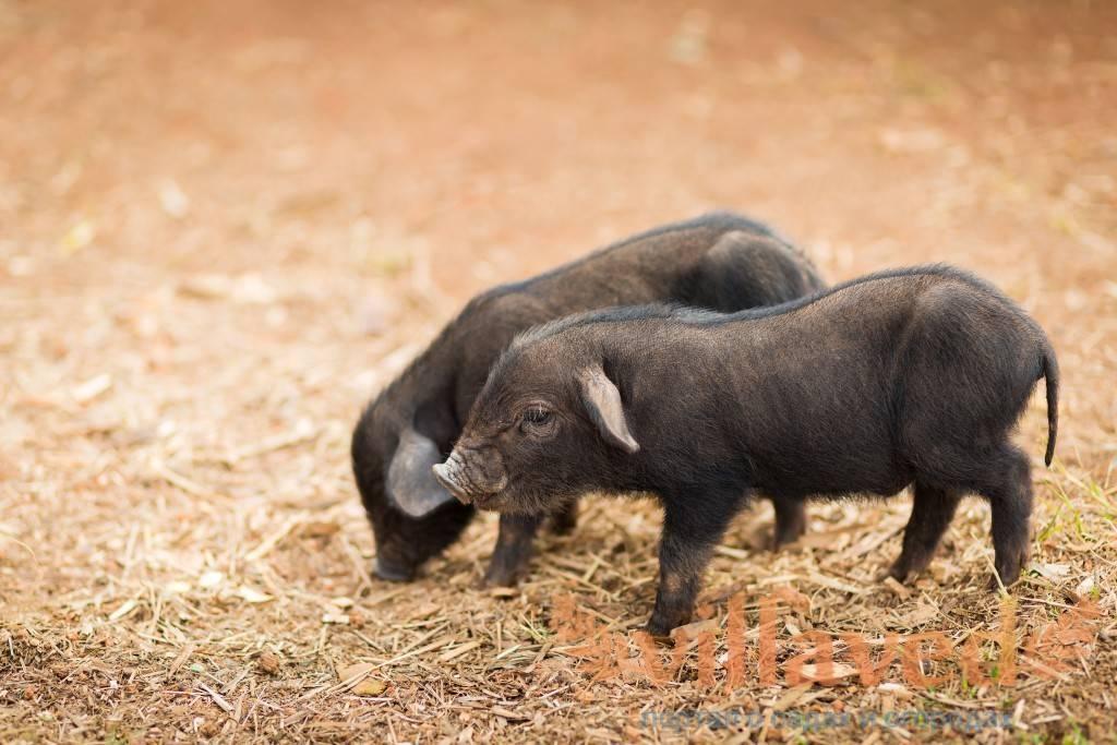Кармал - полностью мясной гибрид свиней. экопарк  z