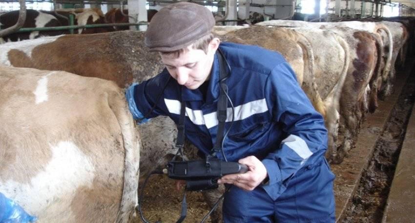 Определение стельности коровы при помощи разных диагностических способов
