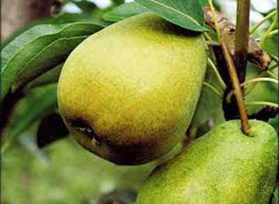 Груша свердловчанка: фото и описание сорта, урожайность, отзывы, посадка и уход