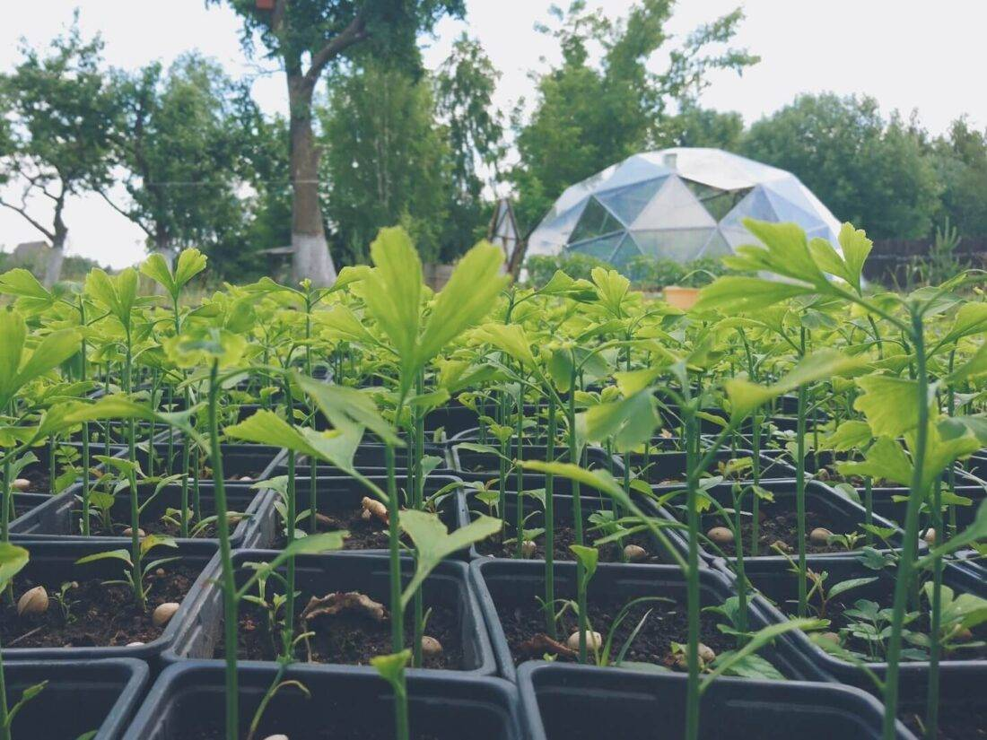 Гинкго: особенности размножения и полезные свойства - огород, сад, балкон - медиаплатформа миртесен