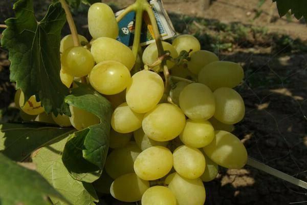 Виноград «ландыш» — особенности сорта, правила ухода и отзывы