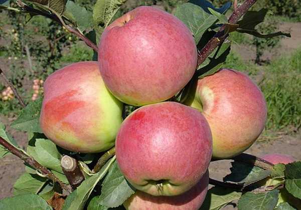Яблоки с повышенным содержанием «аскорбинки» — сорт скала