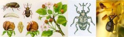 Мучнистый червец мучнистый червец - злостный вредитель цветов !