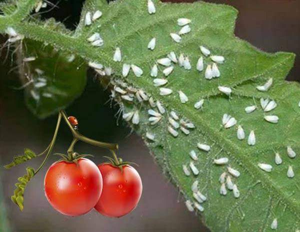 Белокрылка в теплице: как избавиться на помидорах, огурцах, на комнатных растениях, средства