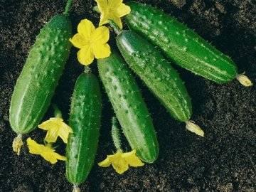 Об огурце либелла: описание сорта, характеристики, технология выращивания