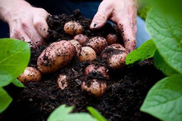 Картофель родриго: описание сорта, характеристики