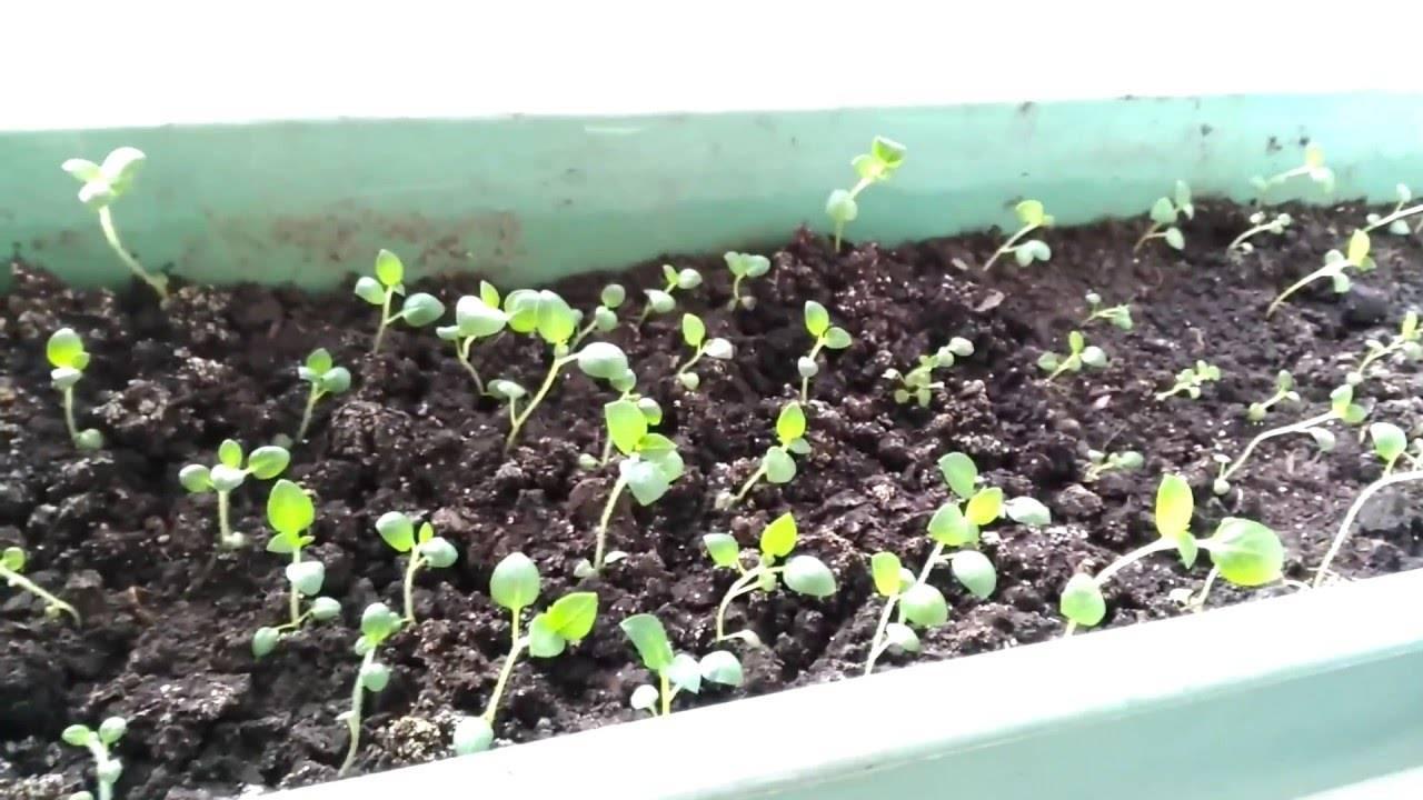 Выращивания картофеля из семян | (фото & видео) +отзывы