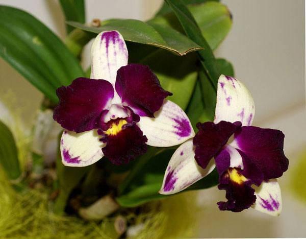 Орхидея каттлея: уход в домашних условиях и выращивание
