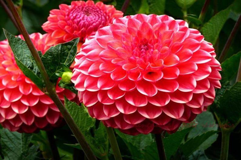 Цветы георгины: фото, описание, посадка и уход в открытом грунте, размножение георгинов