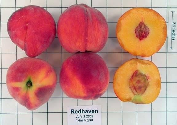 Персик редхейвен: описание и основные характеристики сорта