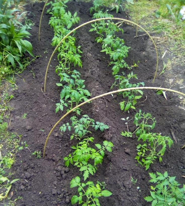 Характеристики и описание томата из голландии — «тарпан» f1