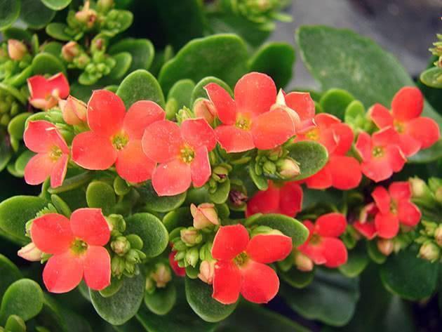 Цветение каланхоэ: варианты по уходу за цветком и способы выращивания