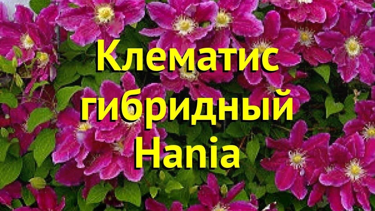 Все о клематисах-лианах —  описание видов растения