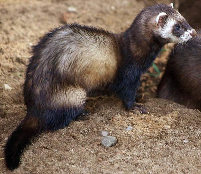 Лесной хорек животное доклад информация сообщение описание фото видео