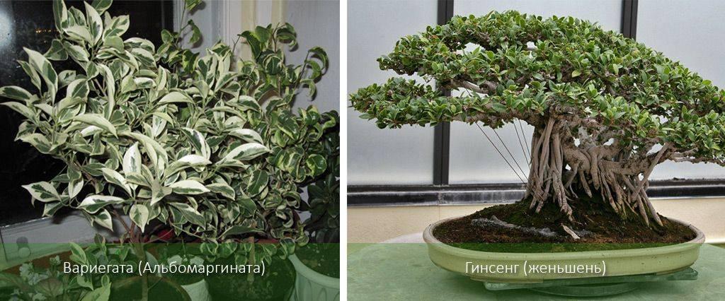 Выращивание фикуса микрокарпа: как посадить, ухаживать, удобрять, размножать