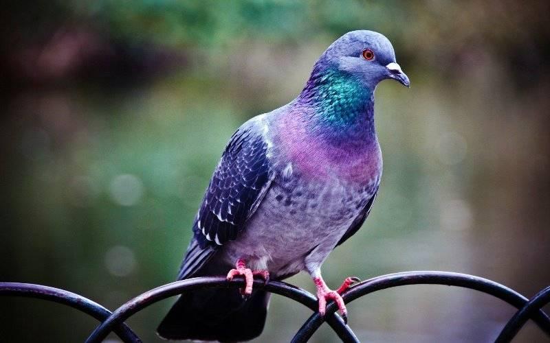 Как можно поймать домашнего или дикого голубя
