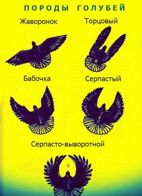 Все о голубях породы турман