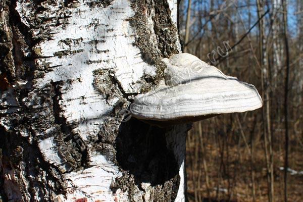 Что лечит чага березовый гриб — как заваривать