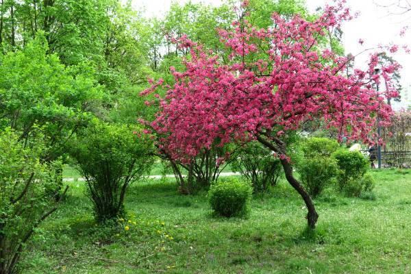 Описание сорта яблони розовый жемчуг: фото яблок, важные характеристики, урожайность с дерева