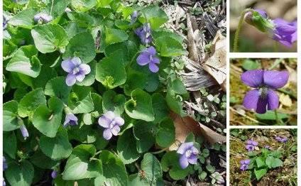 Фиалка душистая: выращивание из семян, фото, о посадке и уходе
