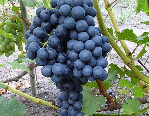 Выращивание винограда сорта гала