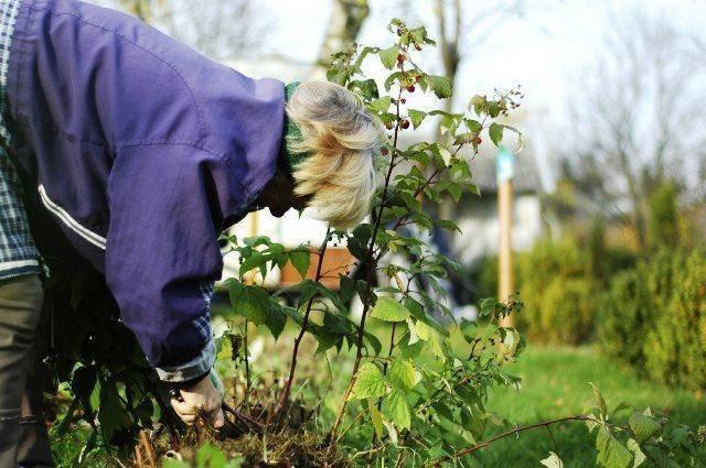 Подготовка малины осенью к зиме — уход за кустами