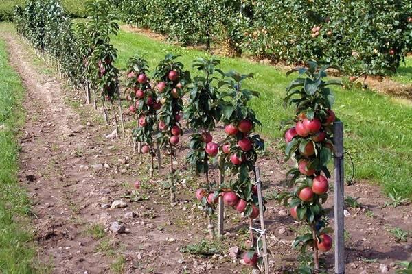 Сорта карликовых яблонь: различные низкорослые деревья для средней полосы и других регионов, осенние, летние, зимние, а также их фото и описание