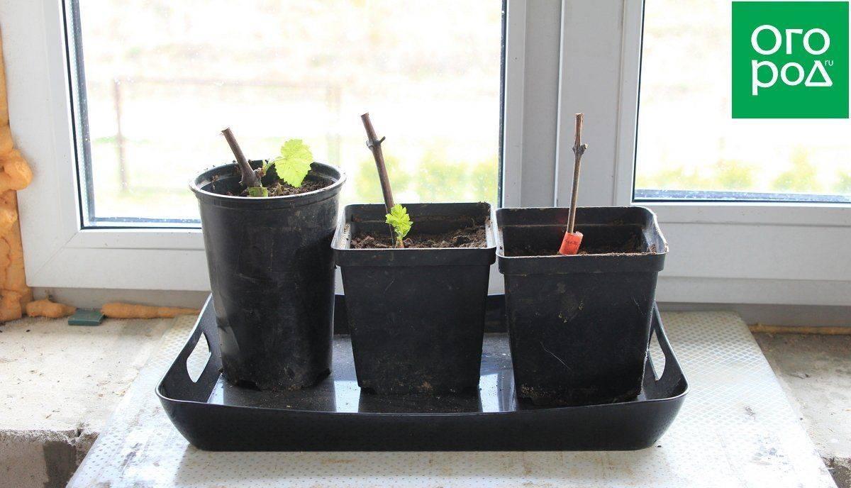 Размножение винограда черенками, отводками в домашних условиях, как развести осенью и летом