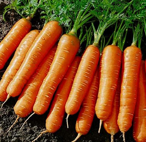 Можно ли сажать морковь: после моркови, что сажать до и после растения на следующий год, какие культуры совместимы, а какие нет, разрешено ли сеять вместе с корнеплодами чеснок