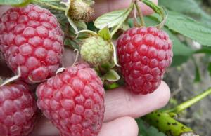 Штамбовые сорта малины или малиновые деревья: описание, отзывы, правила посадки и ухода