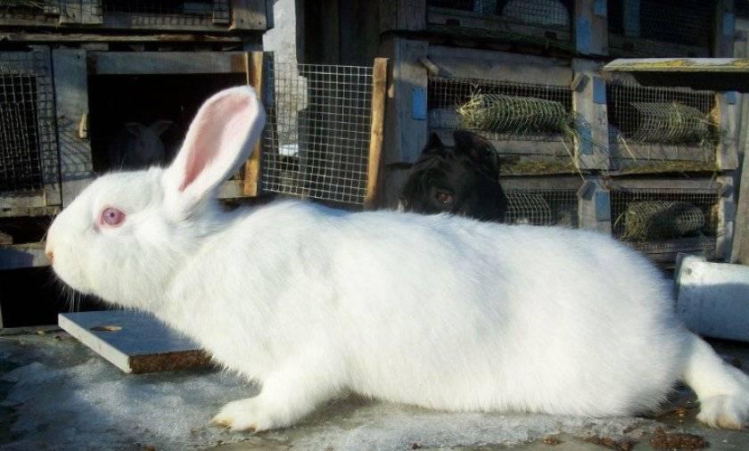 Белый паннон — как содержать кроликов и чем они примечательны?