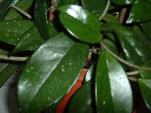 Почему не цветет хойя — как заставить цвести в домашних условиях