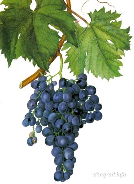 Виноград мускат — описание и фото лучших мускатных сортов