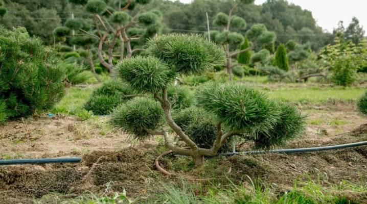 Как обрезать и формировать горную сосну в саду, для густой кроны, фото
