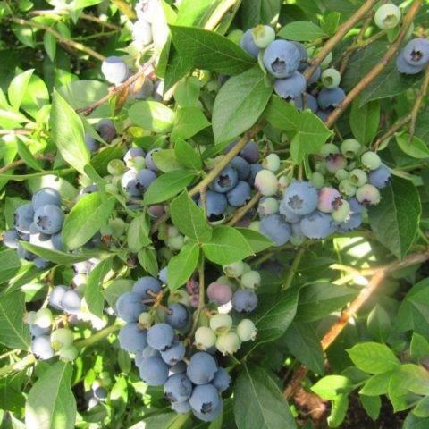 Голубика река: описание сорта, специфика выращивания и ухода за растением